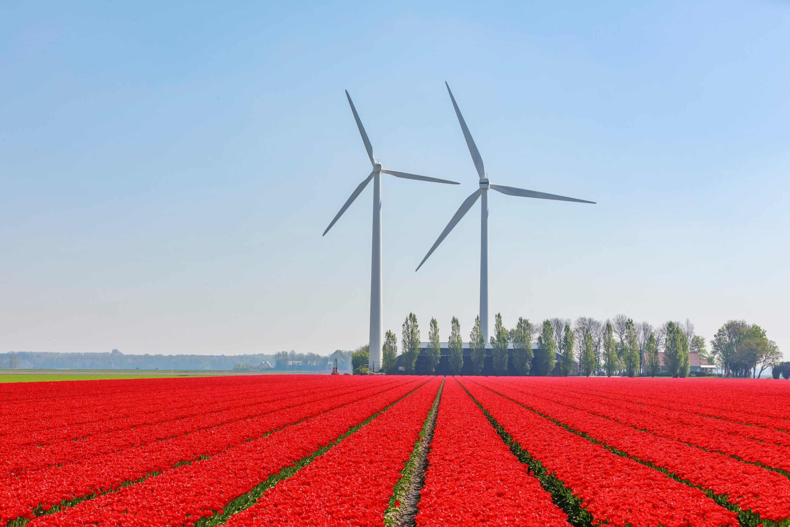 Distesa di tulipani rossi