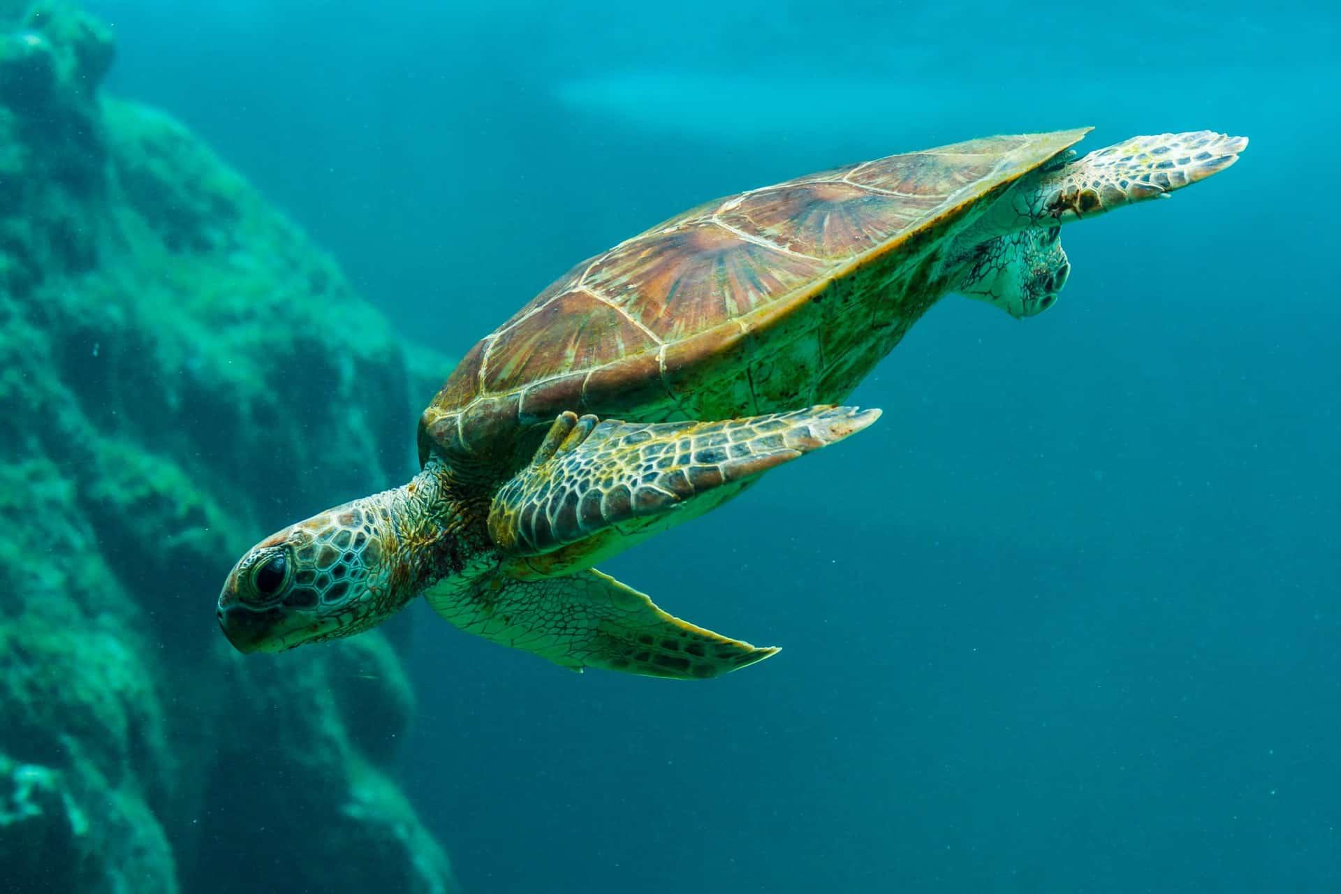 La libertà della tartaruga nei mari caraibici